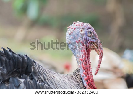 Turkey in the farm yard, black feathers head shot  in nature.Turkey cock. Turkey bird. selective focus. - stock photo