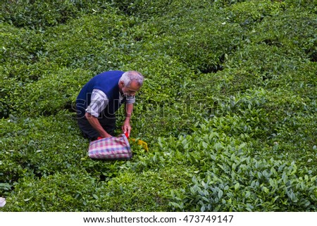 TURKEY - RIZE; AUGUST 23, 2016, tea plantations and tea gathering people