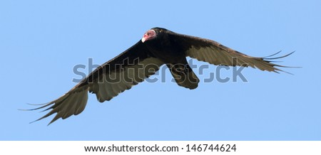 Turkey Vulture (Cathartes aura ruficollis) flying. Patagonia, Argentina, South America