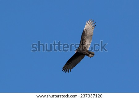 Turkey Vulture in flight - stock photo