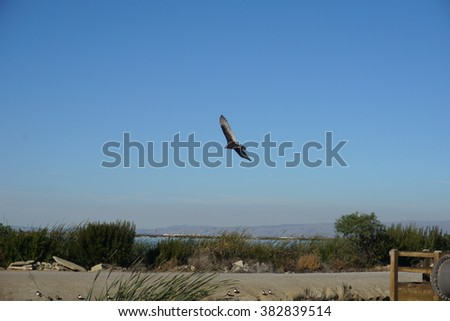 Turkey Vulture on the bay trail near Sunnyvale, California