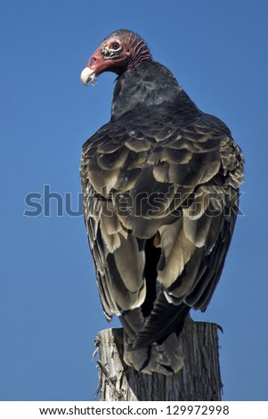 Turkey Vulture perched on a fence post. - stock photo