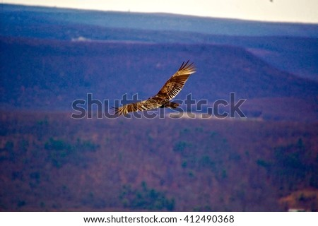 Turkey Vulture soaring in the air along a trail in northern Pa - stock photo