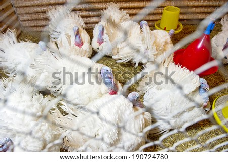 turkeys in a cage - stock photo