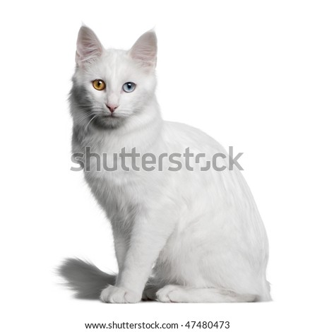 Turkish Angora (18 months old) in front of a white background - stock photo