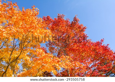 Turned orange and red of autumn maple leaves under sky