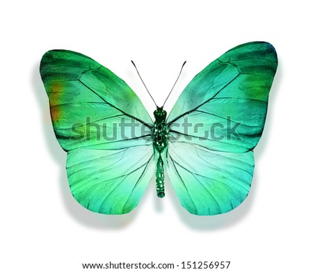 Turquoise blue butterfly , isolated on white