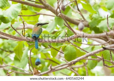 Turquoise browed mot mot sits in an almond tree holding an insect