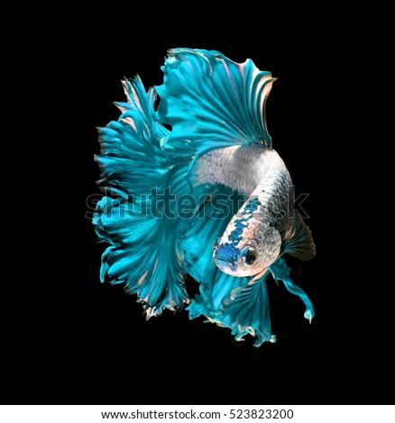 Turquoise dragon siamese fighting fish, betta fish isolated on black background.