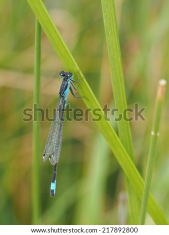 Turquoise Dragonfly close up - stock photo