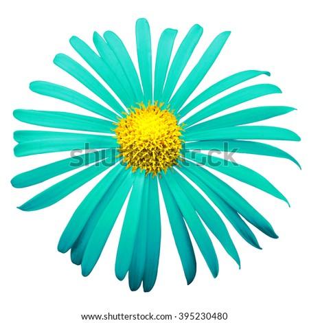 Turquoise exotic chrysanthemum flower macro isolated on white - stock photo