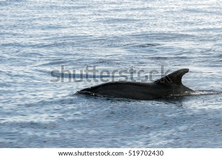 tursiop dolphin jumping outside the sea