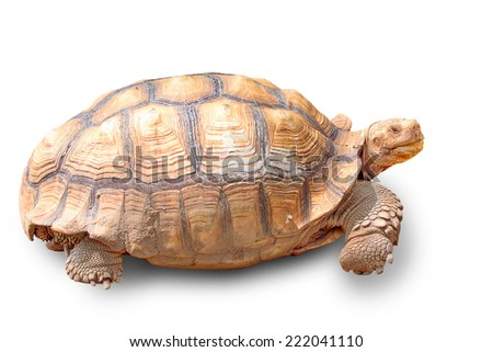 Turtle a large marine reptile with a bony or leathery shell and flippers, coming ashore annually on sandy beaches to lay eggs. - stock photo