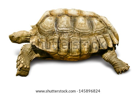 Turtle African Spurred Tortoise Isolated on White - stock photo
