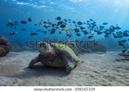 Turtle and Band of Fish - stock photo