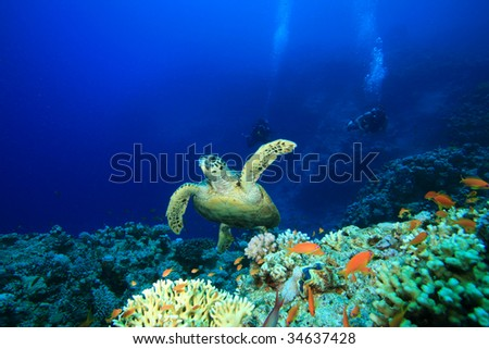 Turtle and Scuba Divers - stock photo