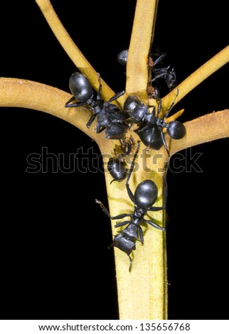 Turtle Ants (Cephalotes sp.) gathering honeydew from leaf hoppers in the rainforest understory, Ecuador - stock photo