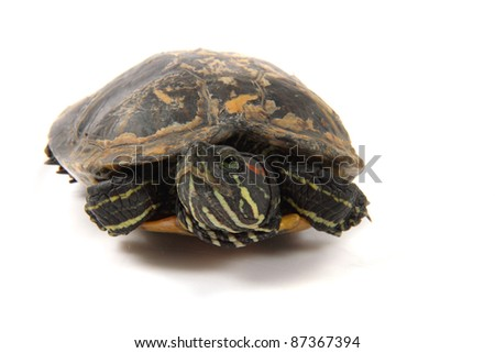 turtle as princess isolated on the white background