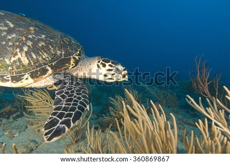 Turtle at coral reef in Florida