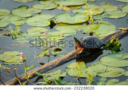 Turtle at the forest lake - stock photo