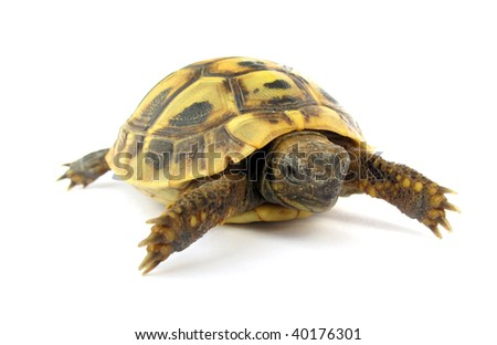 Turtle baby tortoise - stock photo