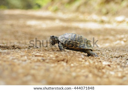 turtle crawls in the forest somewhere on Lycian Way\nAntalya