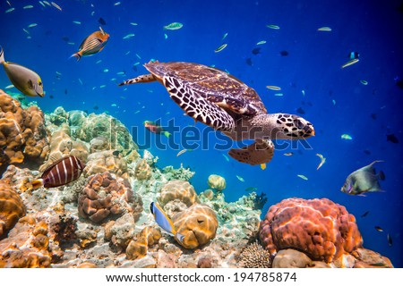 Turtle - Eretmochelys imbricata floats under water. Maldives Indian Ocean. - stock photo