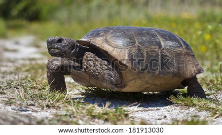 Turtle, gopher tortoise (Gopherus polyphemus) walking
