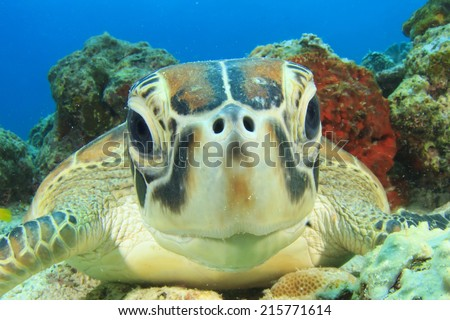 Turtle (Green Sea Turtle) - stock photo