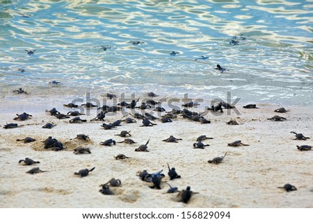 Turtle Hatchlings - stock photo