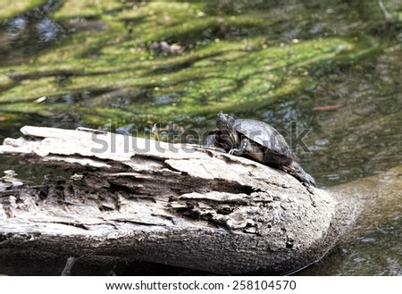 Turtle in a swamp - stock photo