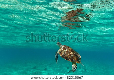 Turtle in nature of Caribbean sea