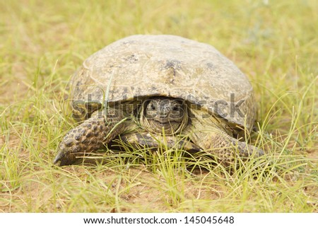 Turtle in the desert sands of the Kyzyl Kum - stock photo