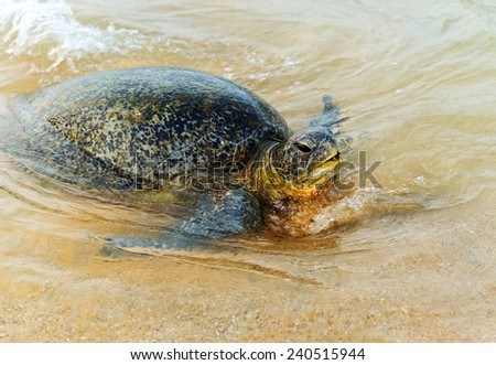 Turtle in the wild on the island of Sri Lanka