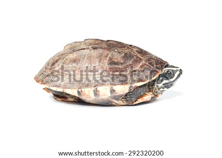 turtle isolate on white