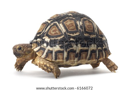 Turtle - isolated on white
