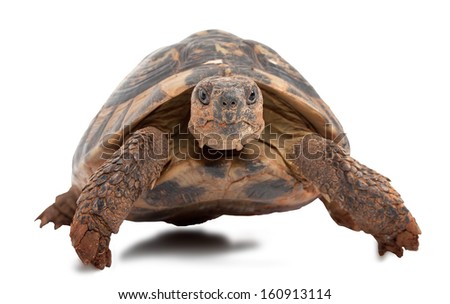 turtle isolated on white background, focus on turtle head - stock photo