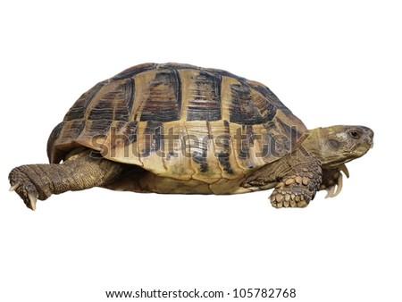 Turtle isolated on white background testudo hermanni, (Herman's Tortoise) - stock photo