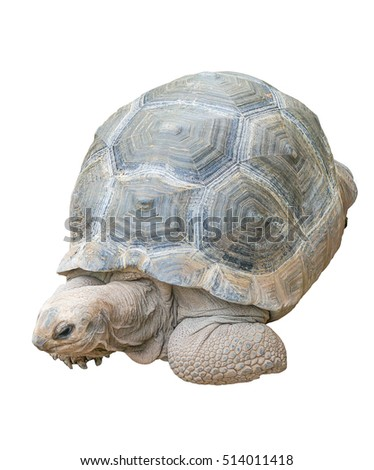 Turtle isolated on white background testudo hermanni, (Herman's Tortoise)