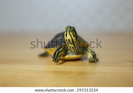 Turtle looking at camera on a wooden floor - stock photo