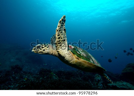 Turtle Maldives - stock photo