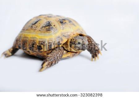 Turtle on a white background - stock photo