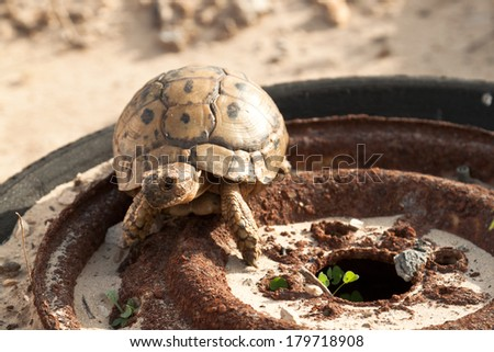 Turtle on an old abandoned car wheel - stock photo
