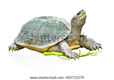 Turtle on isolated backgrounds - stock photo
