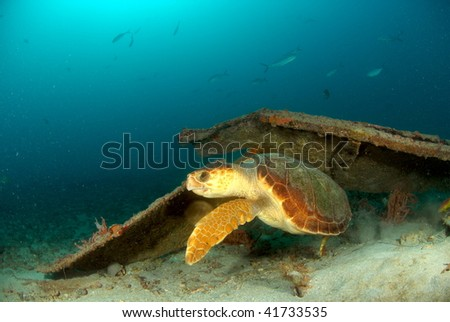 Turtle on wreck in south Florida