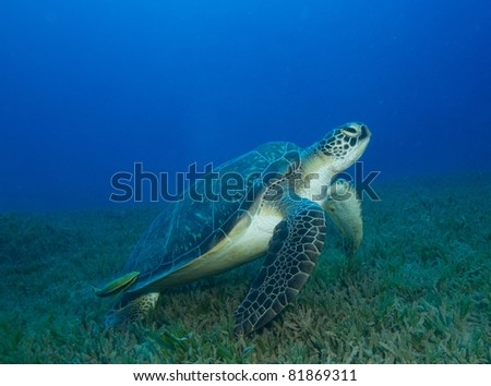 Turtle preparing to swim away from the sea-grass