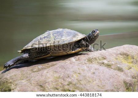 turtle relaxes on a stone - stock photo