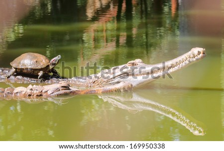 Turtle ride on crocodile back, swimming in water - stock photo