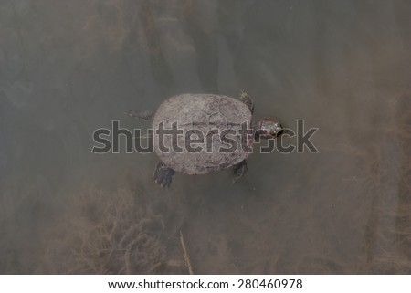 Turtle sweem in lake, Novorossijsk - stock photo
