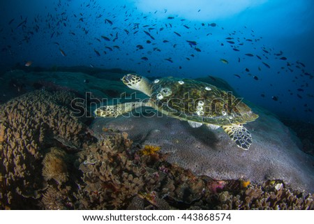 Turtle swimming close to the healthy reef. Green sea turtle. Hawksbill turtle. Small turtle with a shell. Amazingly beautiful underwater view. Healthy reefs of Nusa Penida, Indonesia. - stock photo